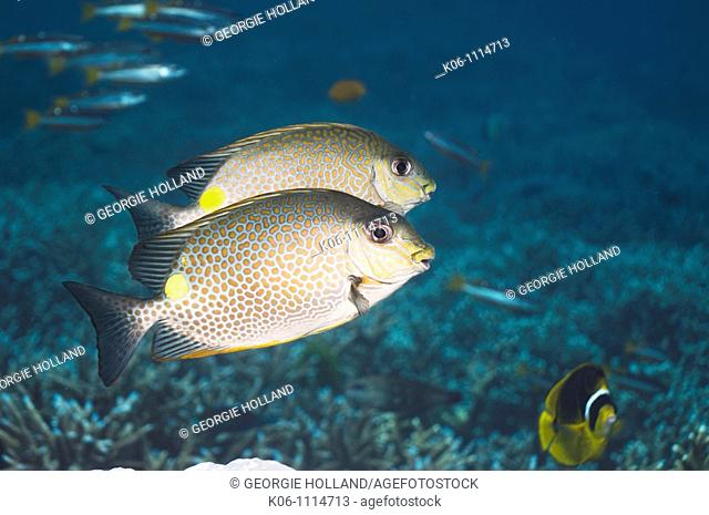 Golden rabbitfish Siganus guttatus  Andaman Sea, Thailand