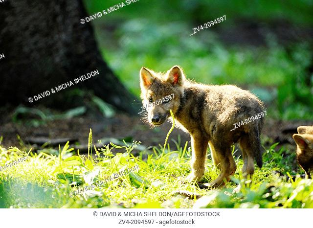 Close-up of a Eurasian wolf (Canis lupus lupus) cub in a forest