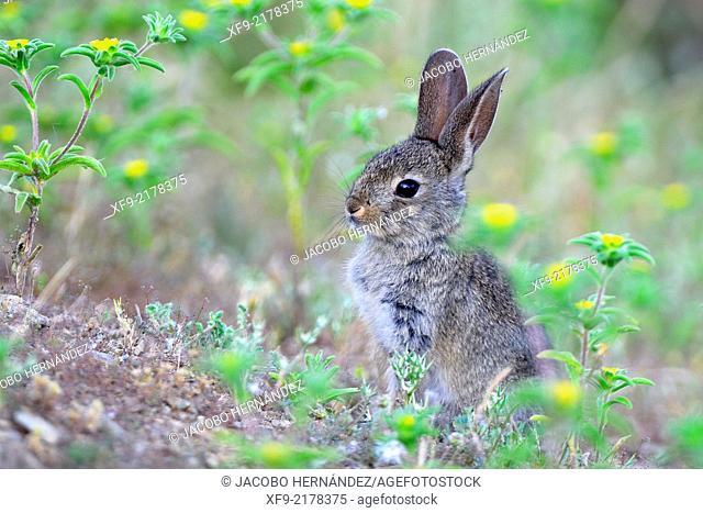 Rabbit.Oryctolagus cuniculus.Extremadura.Spain