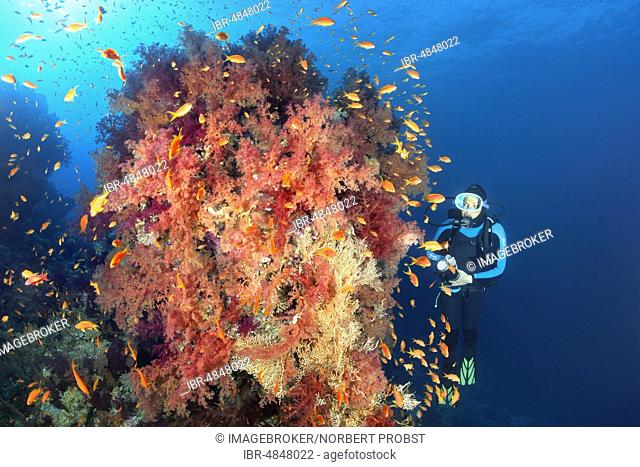 Diver looking at large coral block with dense vegetation from Klunzinger's Soft Corals (Dendronephthya klunzingeri) with Anthiasn (Anthiinae), Red Sea, Egypt