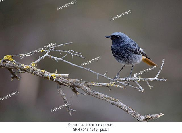 Black Redstart (Phoenicurus ochruros) perched on a branch, israel in January