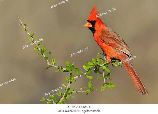 Northern Cardinal Cardinalis cardinalis - Santa Clara Ranch, Texas, United States of America