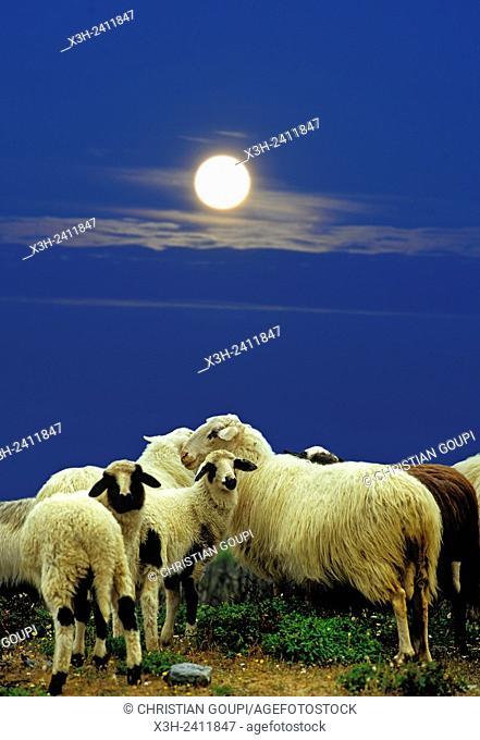 flock of sheep, near Epidaurus, Argolid, Peloponnese, Greece, Southern Europe