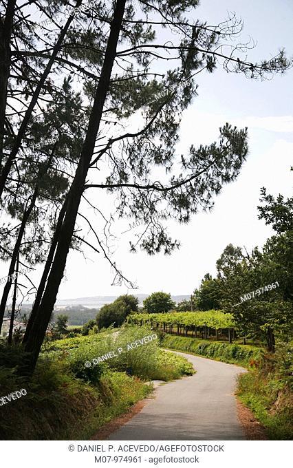 Meaño vines in Rias Bajas, Galicia. Spain, Eurpe