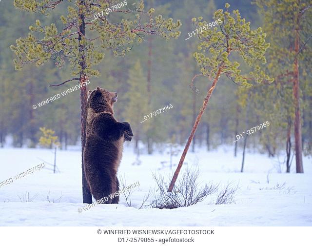 Male European brown bear (Ursus arctos) backed against a pine tree. Finland