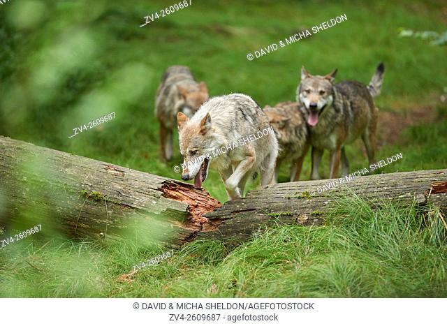 A pack of Eurasian wolves (Canis lupus lupus) in the Bavarian forest in summer, Germany