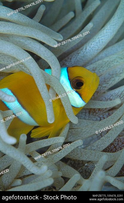 Clownfish  Date: 25/09/2003  Ref: ZB775-109478-0291  COMPULSORY CREDIT: Oceans Image/Photoshot