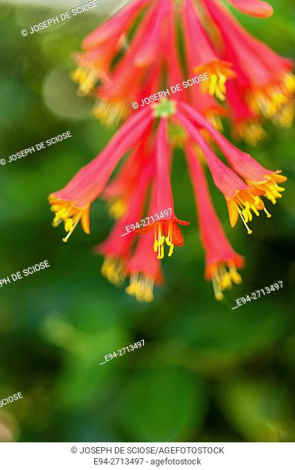 Close uo of the Honeysuckle flower, 'lonicear sempervirens'
