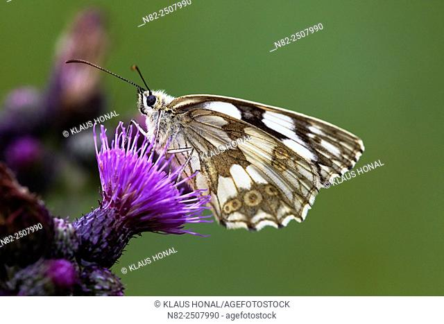 Marbled White Butterfly Melanargia galathea on Marsh thistle Cirsium palustre - Hesselberg region, Bavaria/Germany