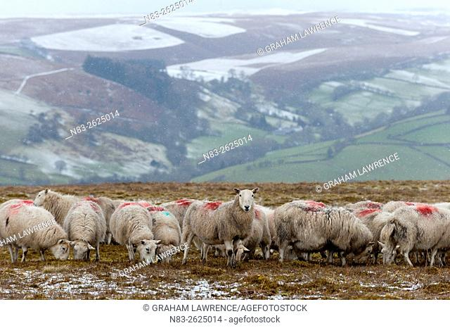 Sheep feed on high moorland in a wintry landscape in Powys, Wales, UK