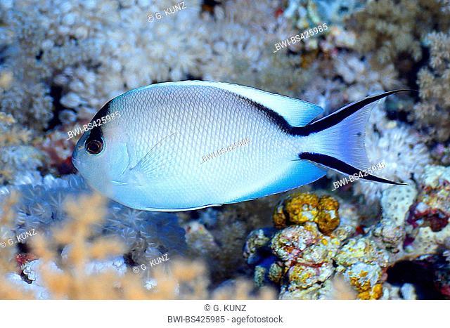 Zebra angelfish, Lyretail angelfish (Genicanthus caudovittatus), female, Egypt, Red Sea