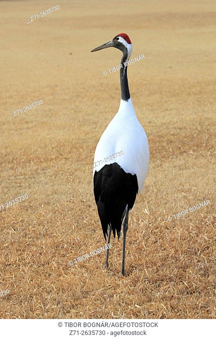 Japan, Japanese crane, grus japonensis, Okayama,