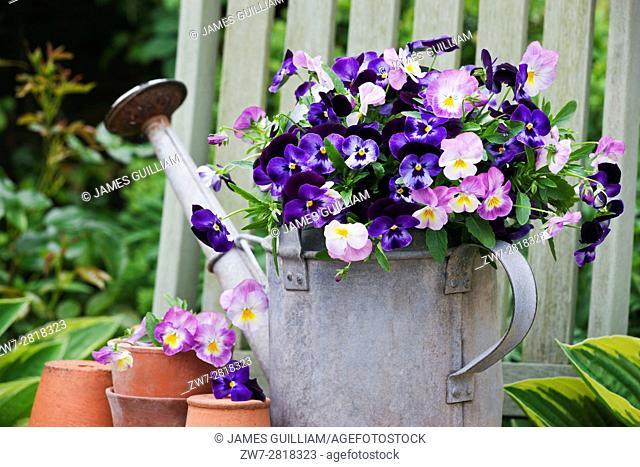 Viola flowers in vintage metal watering can