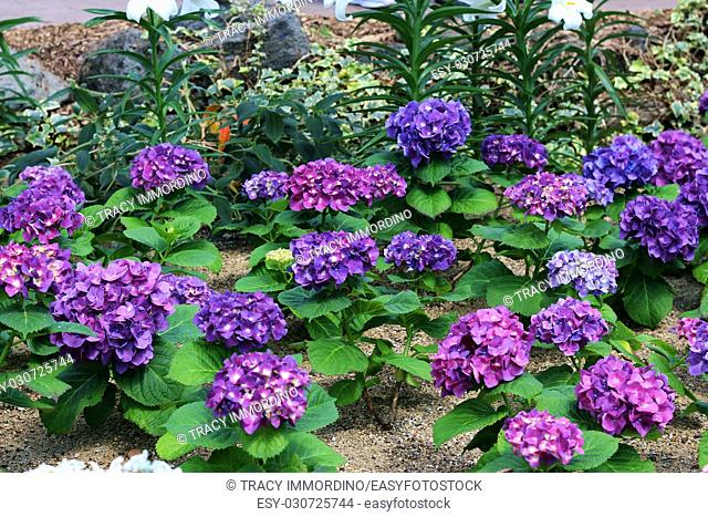 A group of Hydrangea in different shades of purple in a flower garden with Easter Lilies growing in the background