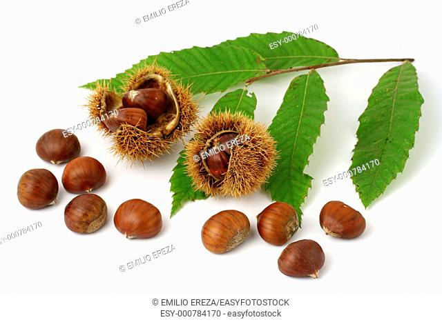 Chestnuts and leaves Castanea sativa