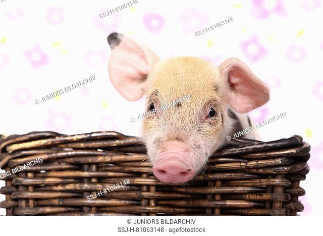 Domestic Pig, Turopolje x ?. Piglet in a basket. Studio picture seen against a white background with flower print. Germany