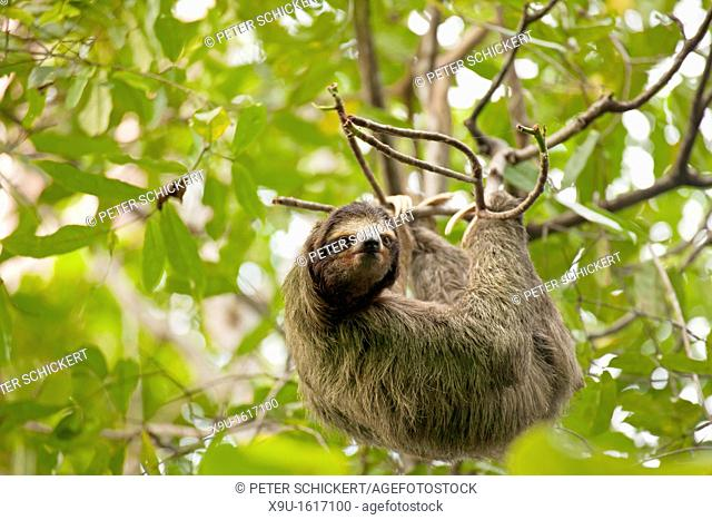three-toed sloth Bradypus variegatus at Cahuita National Park, Cahuita, Caribbean Coast, Costa Rica, Central America