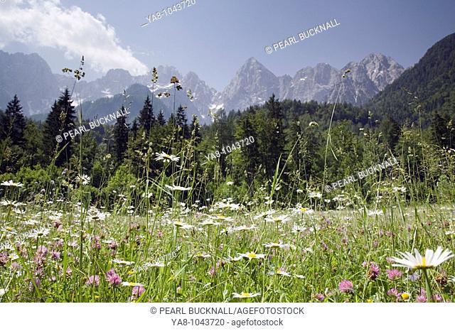 Gozd-Martuljek, Dolina, Slovenia / June Alpine pasture hay meadow with wild flowers and peaks of Martuljek mountain range beyond in Triglav National Park in...