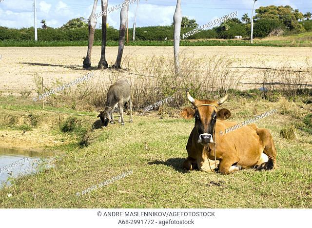 Cow, Cuba