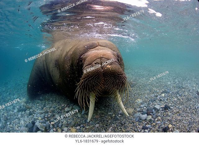 Walrus Odobenus rosmarus rosmarus Svalbard, Norway