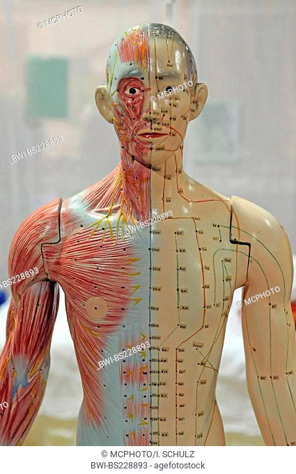 life-sized model of a man for medical use with the energy meridians and acupuncture spots marked and the muscles of one half of the body laid free