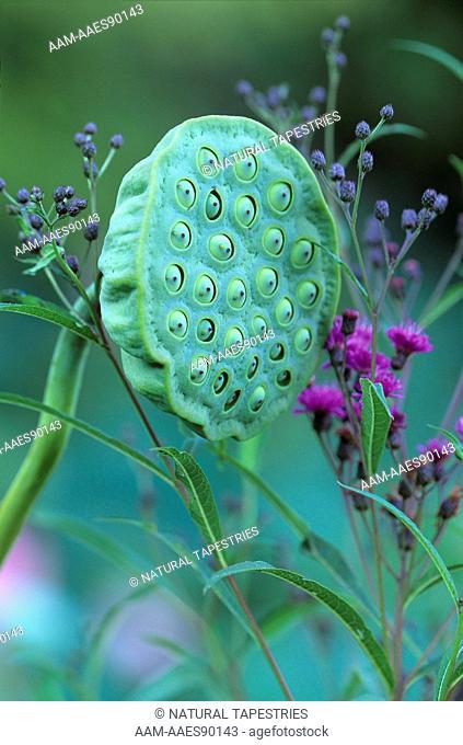 Pink Sacred Lotus Seedhead and Jewelweed