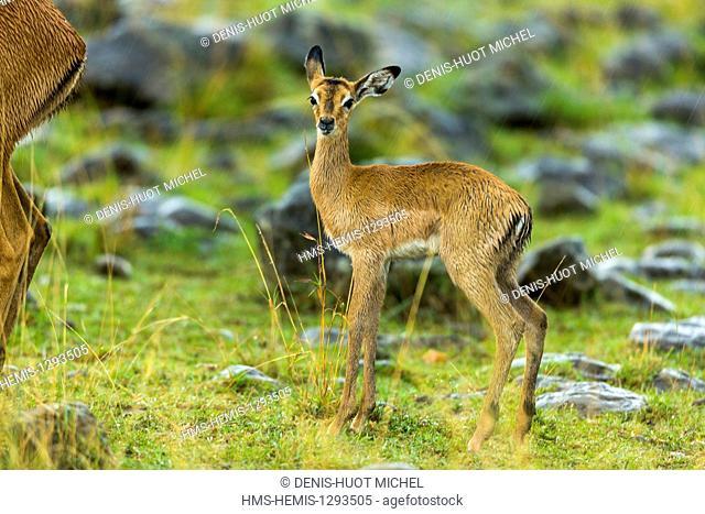 Kenya, Masai Mara national reserve, Impala (Aepyceros melampus), young
