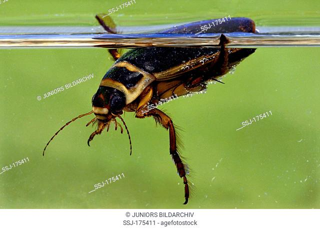 Great Diving Beetle (Dytiscus marginalis), male at the waters surface