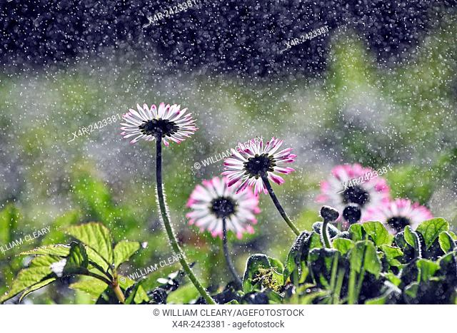 Daisy flowers, water droplets, backlit