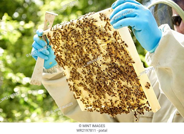 A beekeeper holding a wooden beehive frame covered in bees