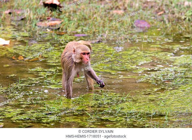 India, Madhya Pradesh state, Bandhavgarh National Park, Rhesus macaque (Macaca mulatta), eating grass near by the water
