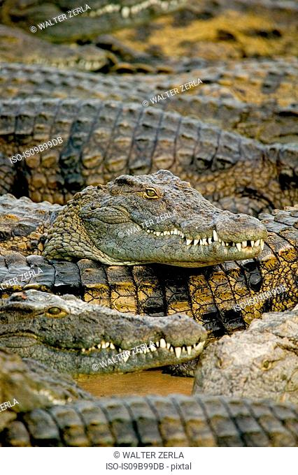 Group of crocodiles in wildlife park, Djerba, Tunisia
