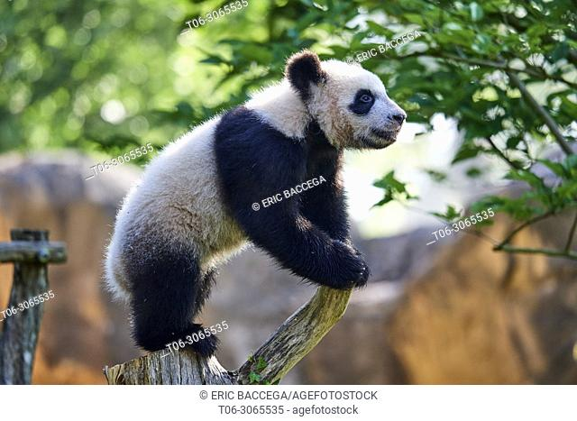 Giant panda cub (Ailuropoda melanoleuca) climbing and exploring during its outings in the enclosure. Yuan Meng, first giant panda ever born in France