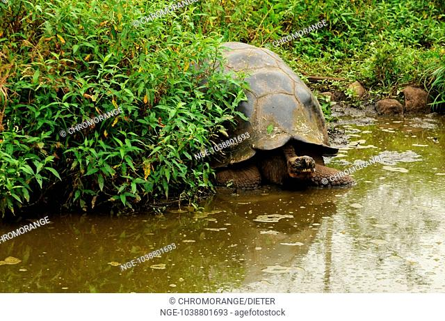 Giant Turtle on water