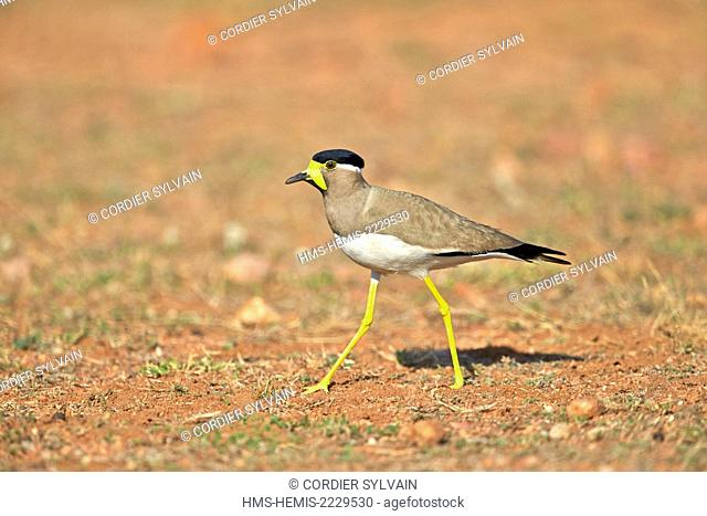 Asia, India, Karnataka, Sandur Mountain Range, Yellow-wattled lapwing (Vanellus malabaricus)