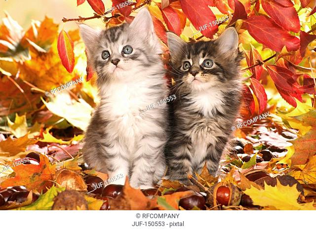 Maine Coon cat - two kittens in autumn foliage