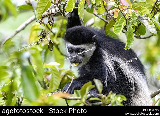 Black & white colobus (Colobus guereza), Uganda, Kibale National Park