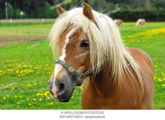 Haflinger Horse Equus caballus, stallion on a meadow