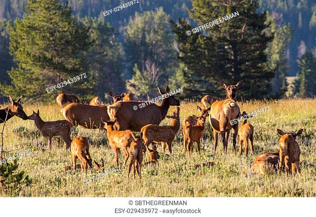 a herd of mother elk with spotted newborn fawns and calves in brush field. nursing and nuzzling in morning light