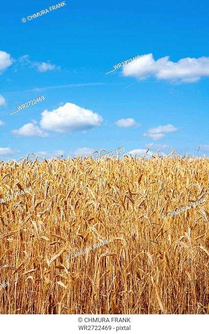 field of rye raedy for harvest with blue sky