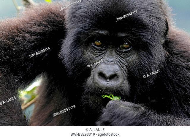 Mountain gorilla (Gorilla beringei beringei), young animal eating, Uganda, Bwindi Impenetrable National Park