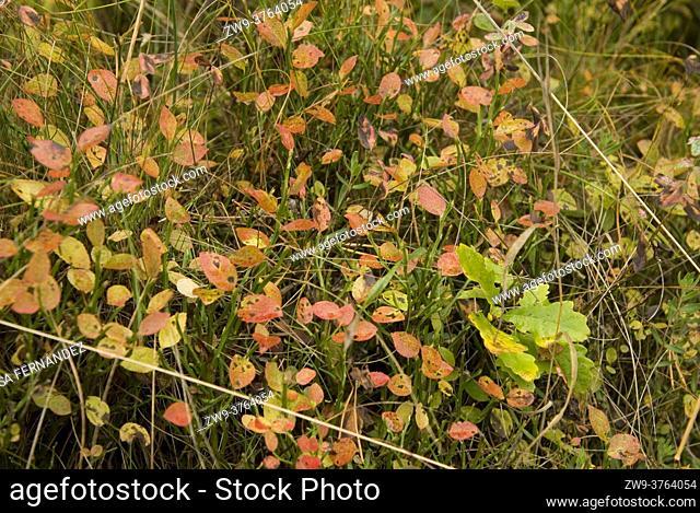 Blueberry plants Vaccinium myrtillus and smal oak Quercus robur, Prioro, Picos de Europa Regional Park, province of Leon, Castilla y Leon Region, Spain