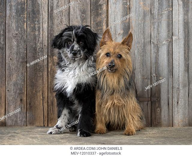 DOG. Pyrenean sheepdog and Australian Terrier