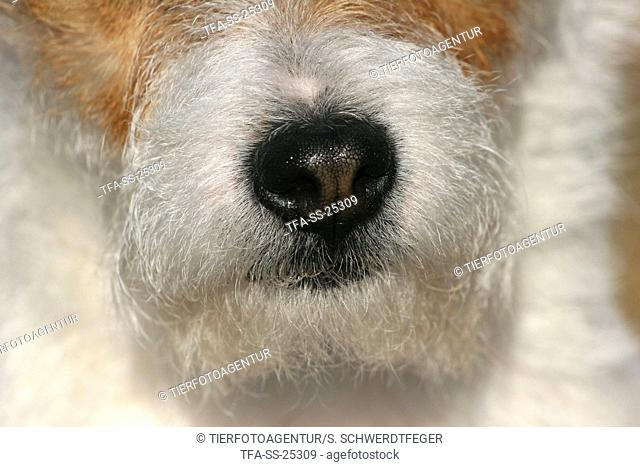 Parson Russell Terrier nose