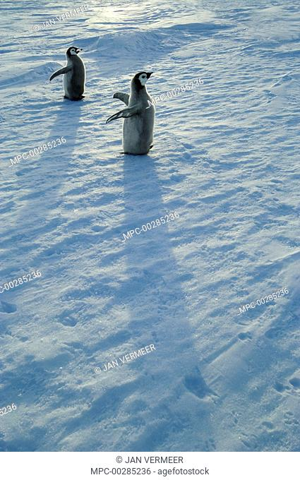 Emperor Penguin (Aptenodytes forsteri) chicks in low sunlight, Antarctica