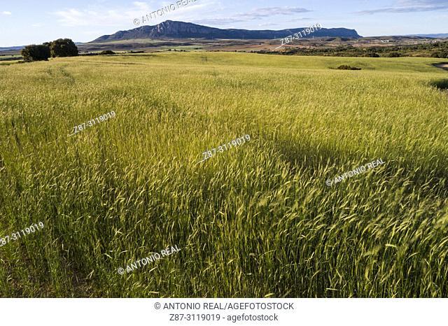 Cereals and Sierra de El Mugrón. Almansa. Albacete. Spain