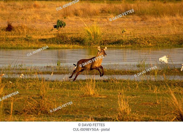 Waterbuck (Kobus ellipsiprymnus) running by Zambezi river, Mana Pools National Park, Zimbabwe