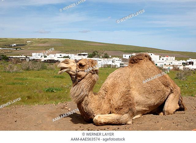 Dromedary Camel (Camelus dromedarius) on Lanzarote, Canary Islands
