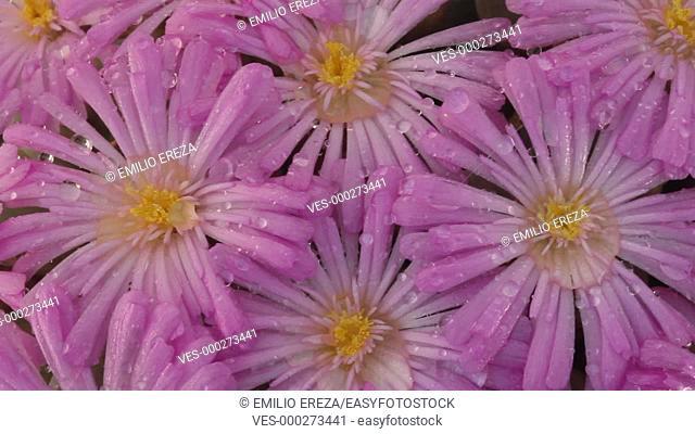 Flowers of Conophytum praesectum