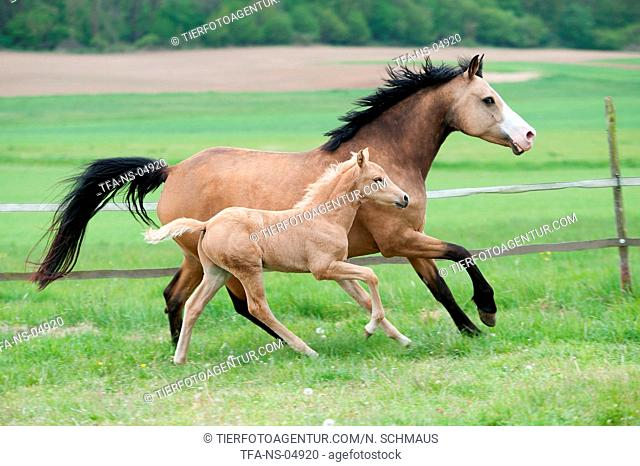 German Riding Ponys